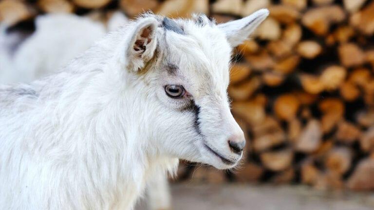 Fieldhouse Pygmy Goats | In The Spotlight